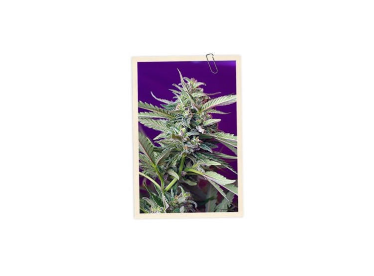 S.A.D. Auto 3 Semillas Sweet Seeds - Sweet Seeds