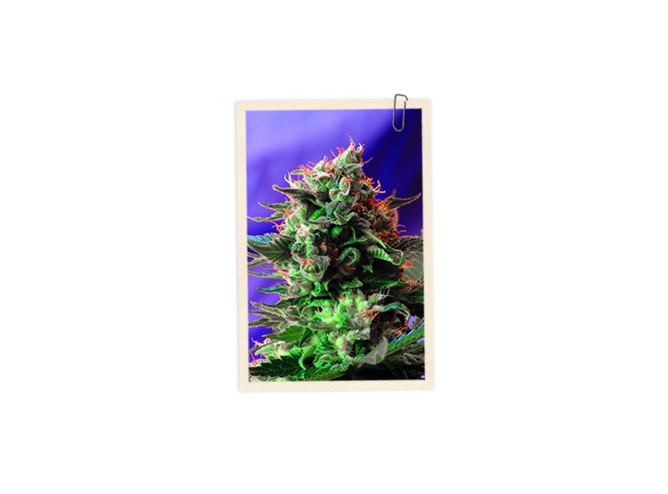 Jack 47 3 Semillas Sweet Seeds para cultivo indoor