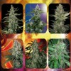 Assorted Auto 10 Semillas Buddha Seeds - buddha seeds