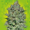 Critical Auto 5 Semillas Black Code Seeds - Black code Seeds