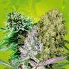 Mix Auto 7 Semillas Black Code Seeds - Black code Seeds